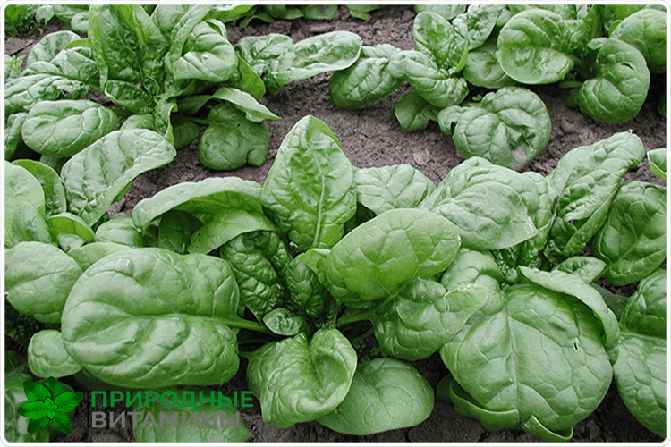 шпинат на огороде