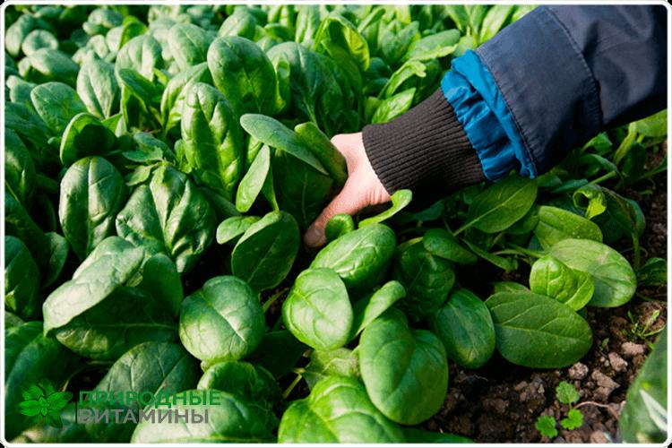 урожай шпината